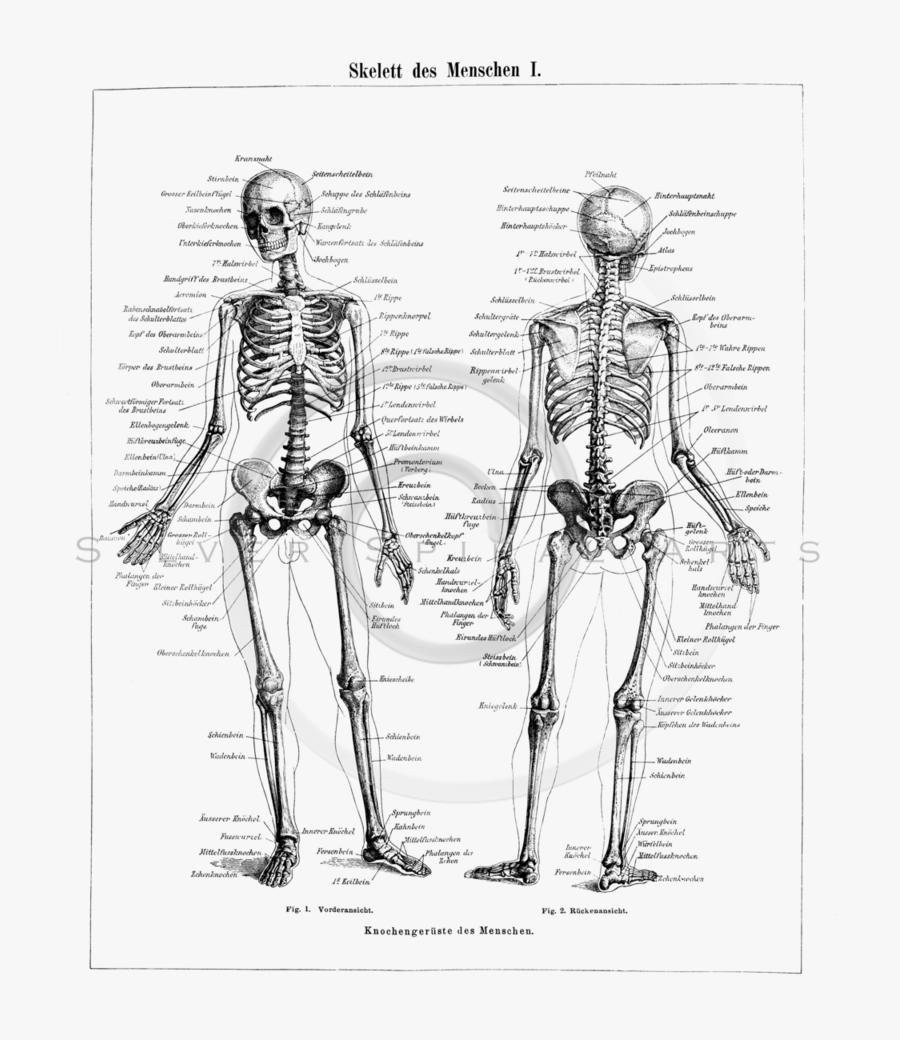 Drawing Skeleton Human - Labeled Human Skeleton, Transparent Clipart