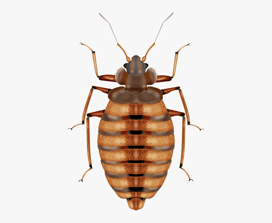 Bed Bug Png Transparent Image - Punaise De Lit Png, Transparent Clipart