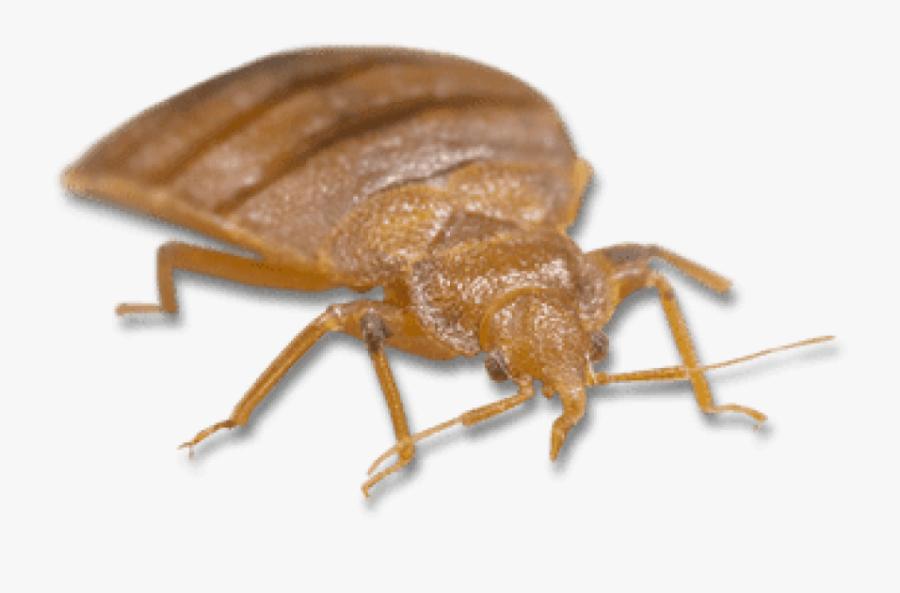 Bed Bug Bites, Transparent Clipart