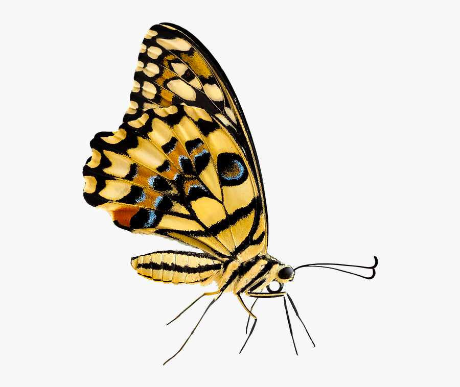 Cartoon Monarch Butterfly 26, Buy Clip Art - Insect, Transparent Clipart