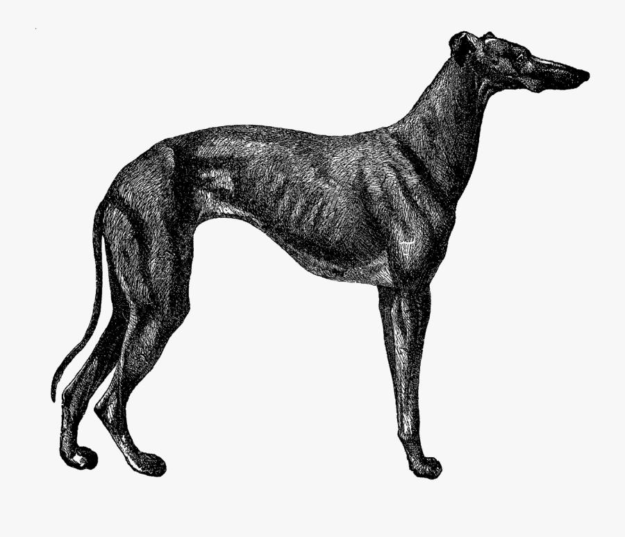 Vintage Greyhound Illustration, Transparent Clipart