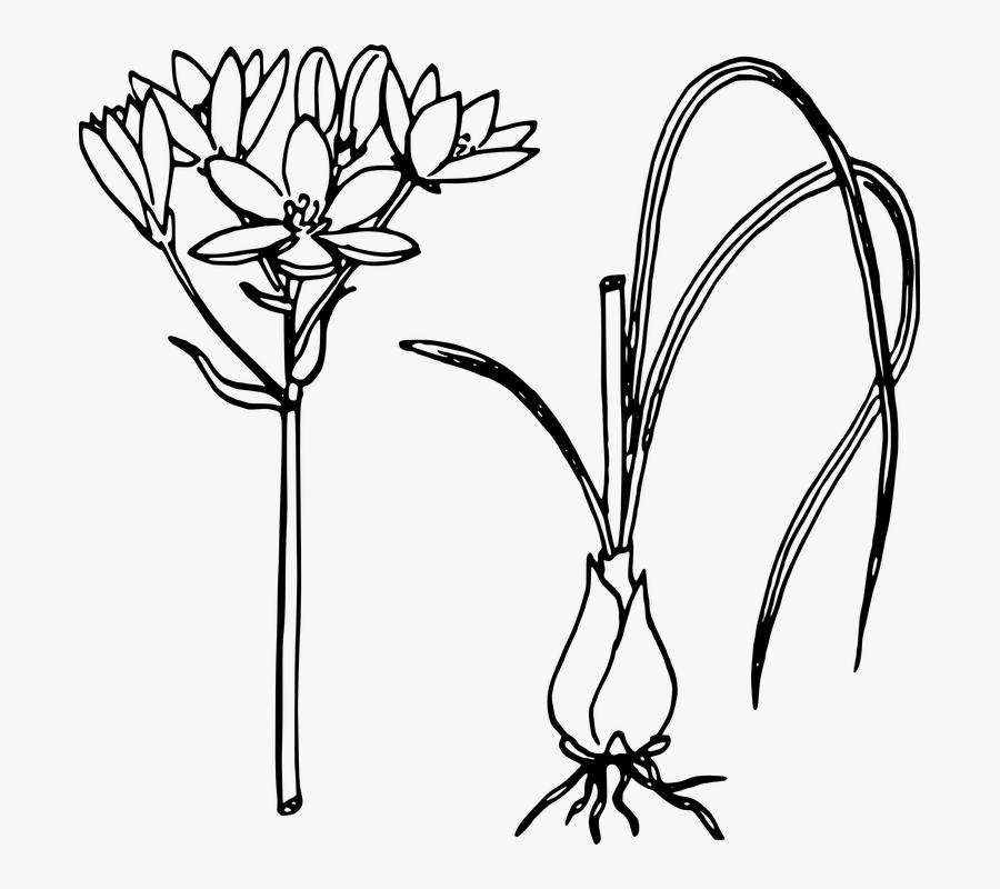 Onion, Biology, Plant, Flower, Leaves, Botany - Star Of Bethlehem Plant Drawing, Transparent Clipart