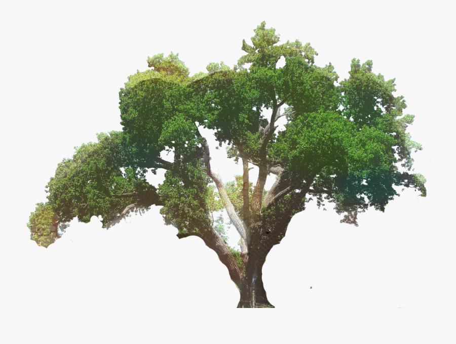 Live Oak Tree Clip Art, Transparent Clipart