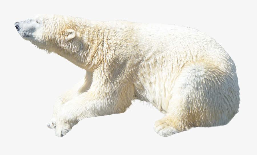 Transparent Background Polar Bear Png, Transparent Clipart