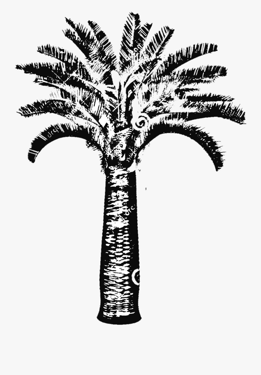 Butia Capitata Jelly Palm Big Plant Nursery - Palm Trees, Transparent Clipart