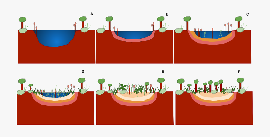 Ecological Succession Wikiwand Pond - Colonisation And Succession In Pond, Transparent Clipart