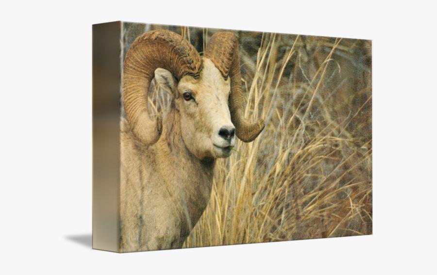 Clip Art Big Horn Animal Photograph - Bighorn, Transparent Clipart
