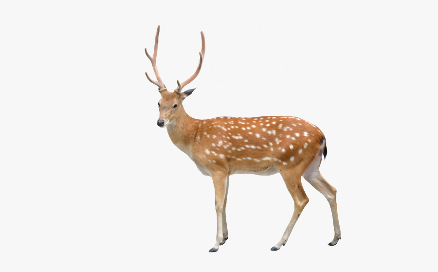 Sika Deer White Background, Transparent Clipart