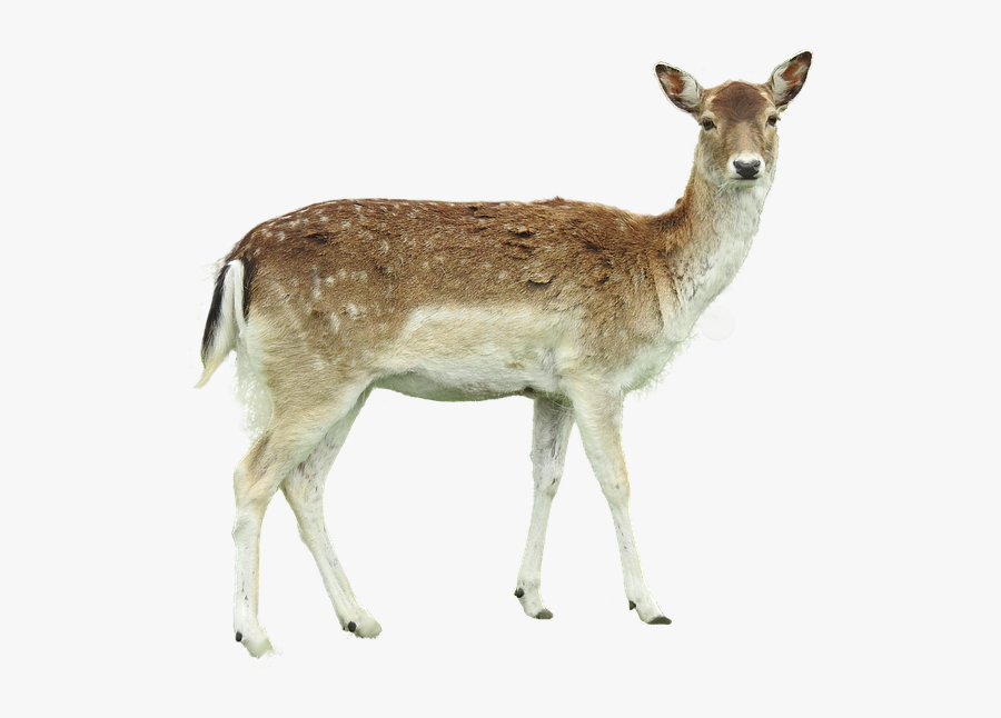 Roe Deer Isolated Fawn Young Forest Legs Hunter - White Tailed Deer Png, Transparent Clipart