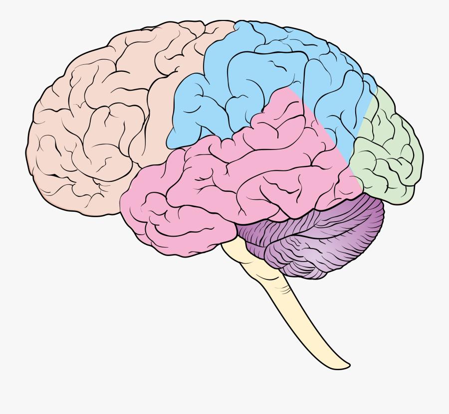 Lobes Of The Brain Blank Diagram , Free Transparent ...