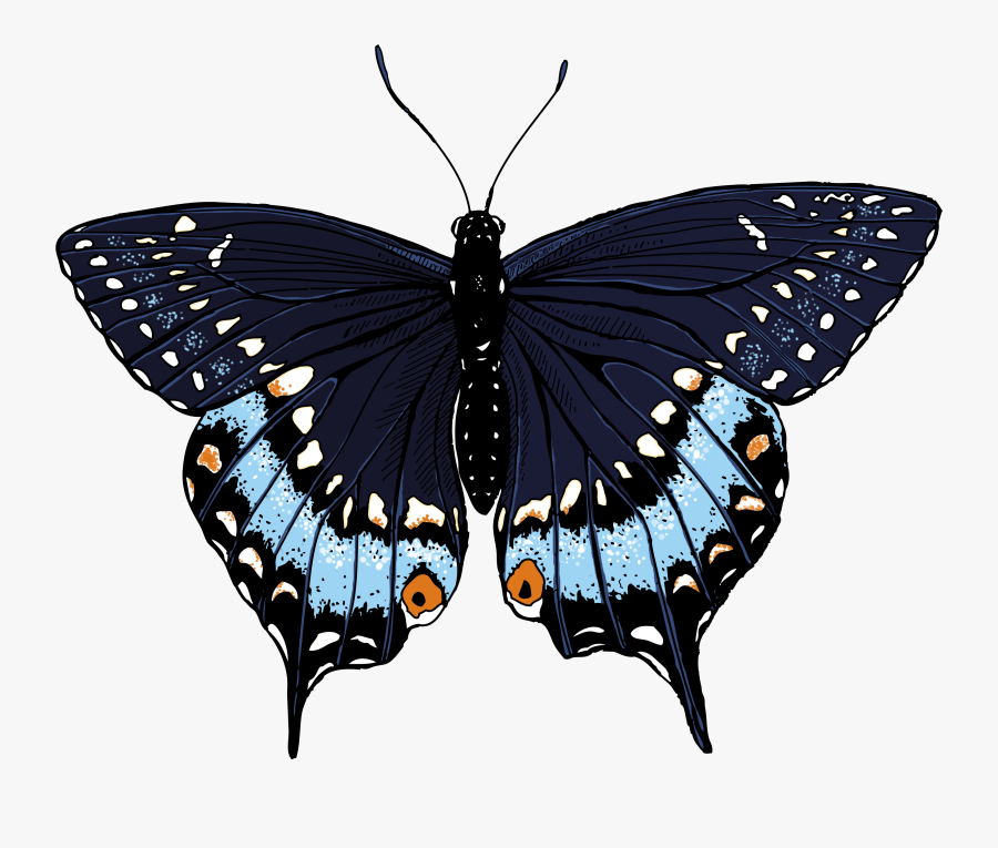 Butterfly Illustrations - Clipart Library - Black Swallowtail Butterfly Illustration, Transparent Clipart