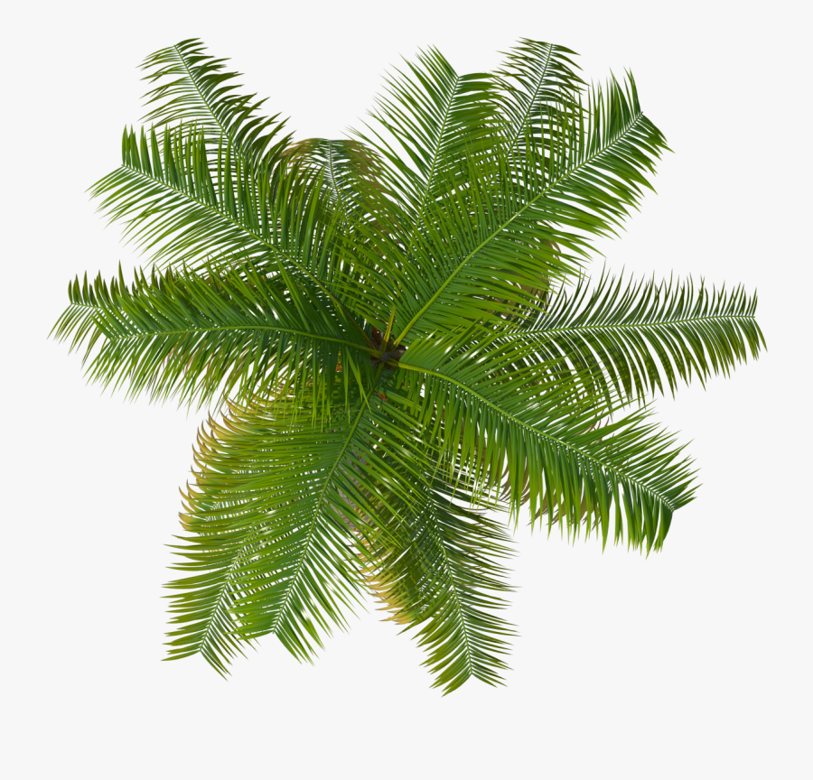 Of Coconut Isolated On - Plant Top View Png, Transparent Clipart