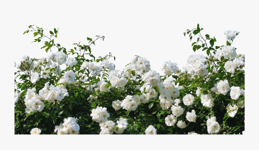 Flower,flowering Family,shrub,multiflora Rose,rosa - White Rose Bush Png, Transparent Clipart