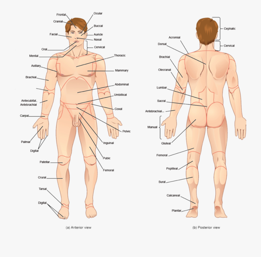Transparent Human Body Parts Clipart - Back Body Part Name, Transparent Clipart