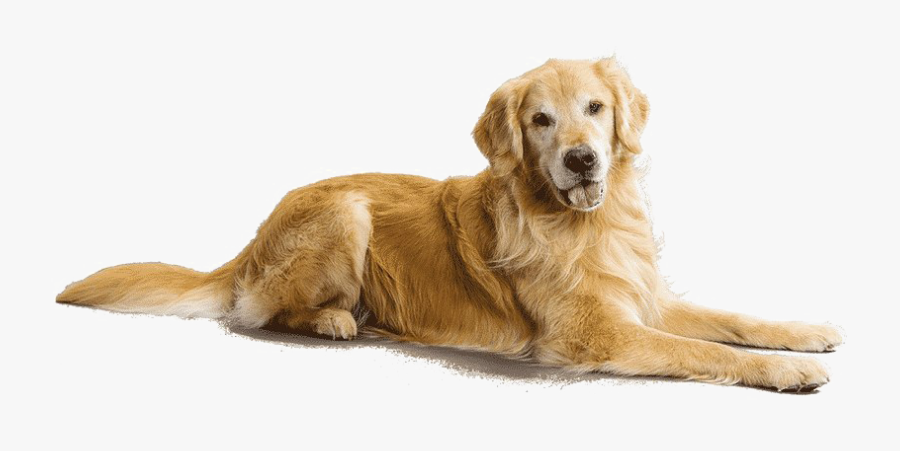 Breed,canidae,golden Dog,sporting Group,snout,labrador - Golden Retriever Png, Transparent Clipart