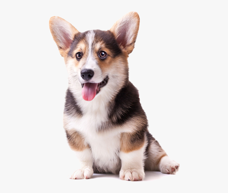 Labrador Pomeranian Puppy Cat - Transparent Background Corgi Png, Transparent Clipart