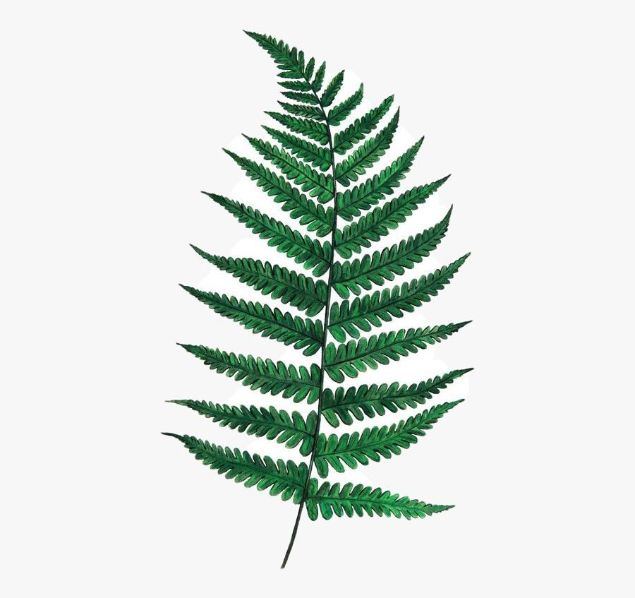 Fern Leaf Drawing - Draw A Fern Leaf Step, Transparent Clipart