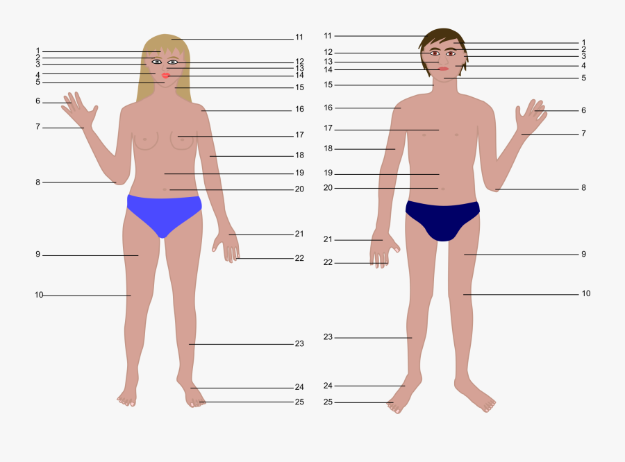 Transparent Human Body Outline Png - Human Body Parts Without Name, Transparent Clipart