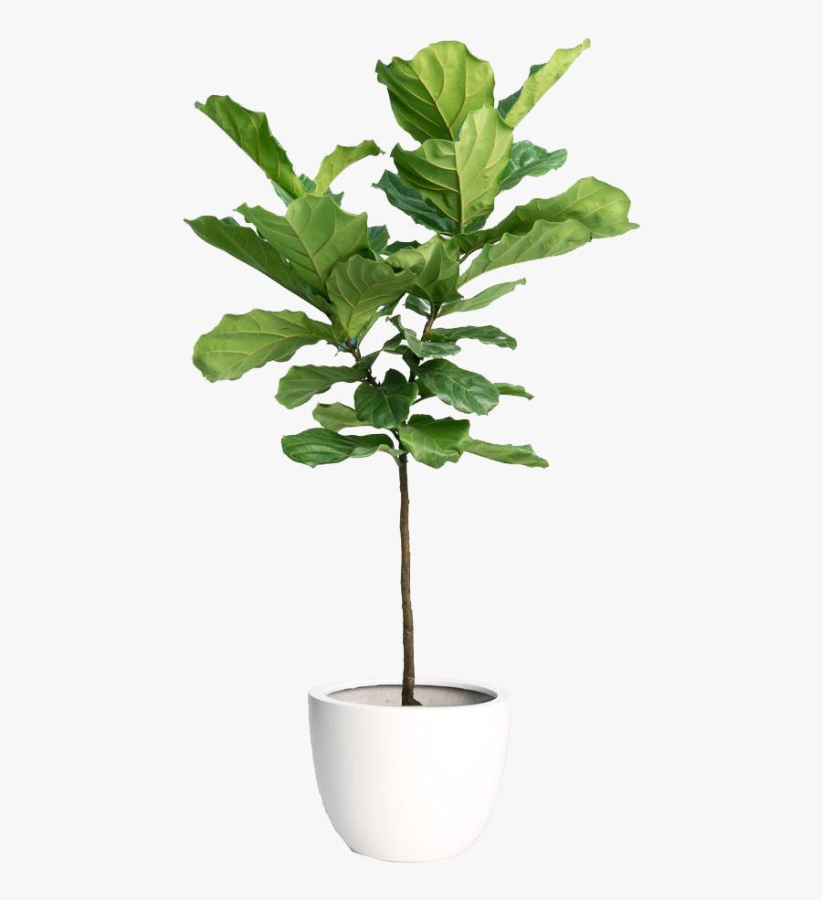 Hd Fiddle Leaf Fig Tree - Transparent Background Indoor Plant Png, Transparent Clipart