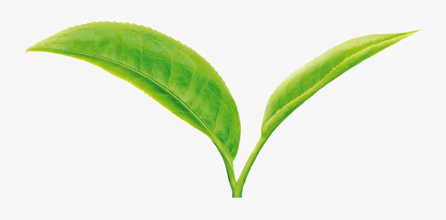 Green Tea Leaf Png, Transparent Clipart