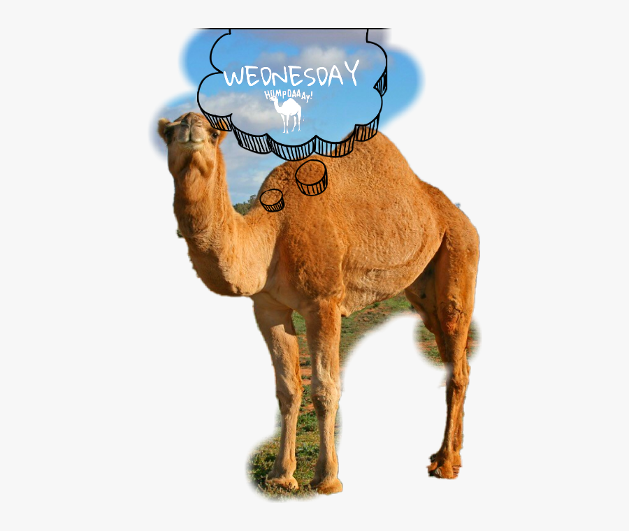 Wednesday Camel Humpday Freetoedit Scwednesday - Hump Day, Transparent Clipart