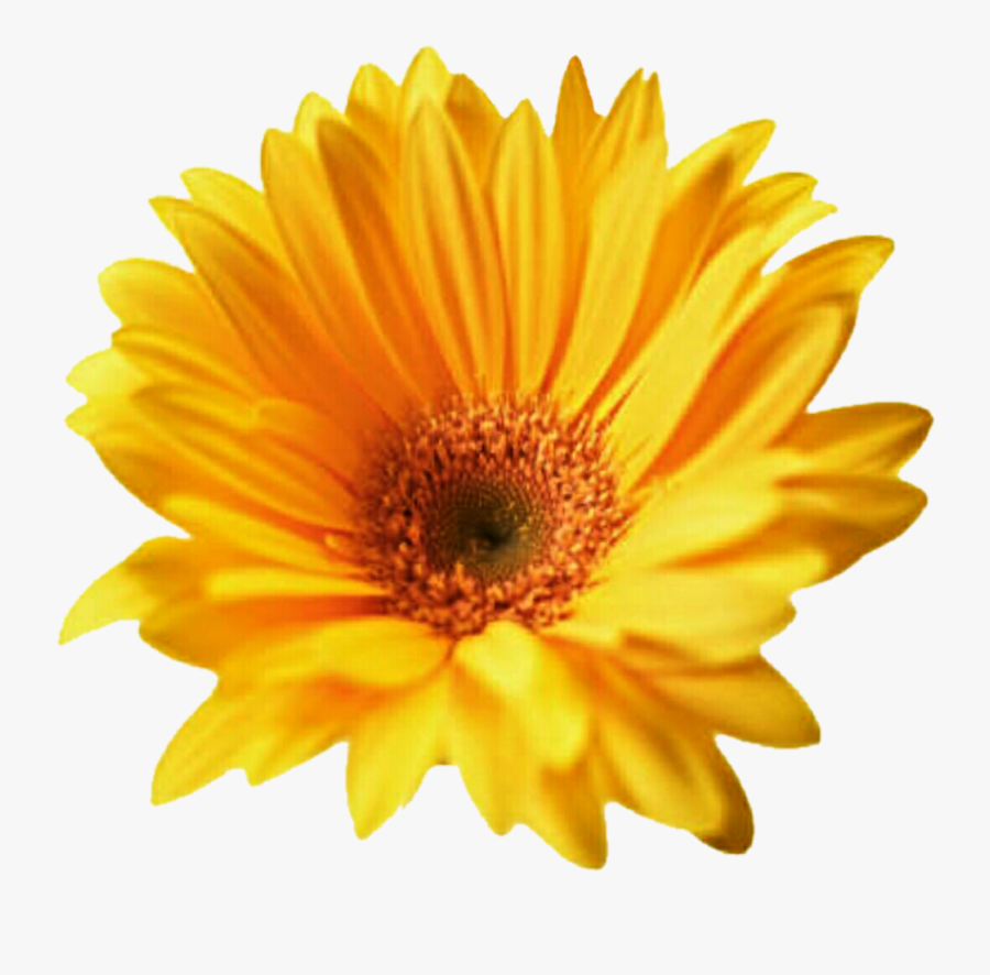 Download Gerbera Png Transparent For Designing Projects - Flower Picture Cut Out, Transparent Clipart