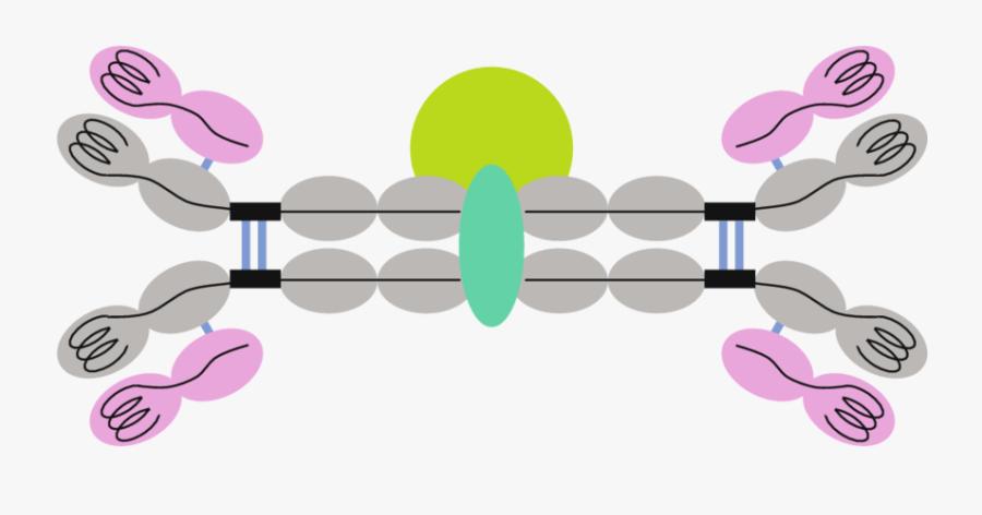 2 Structure Of A Mammalian Secretory Antibody, Comprising, Transparent Clipart