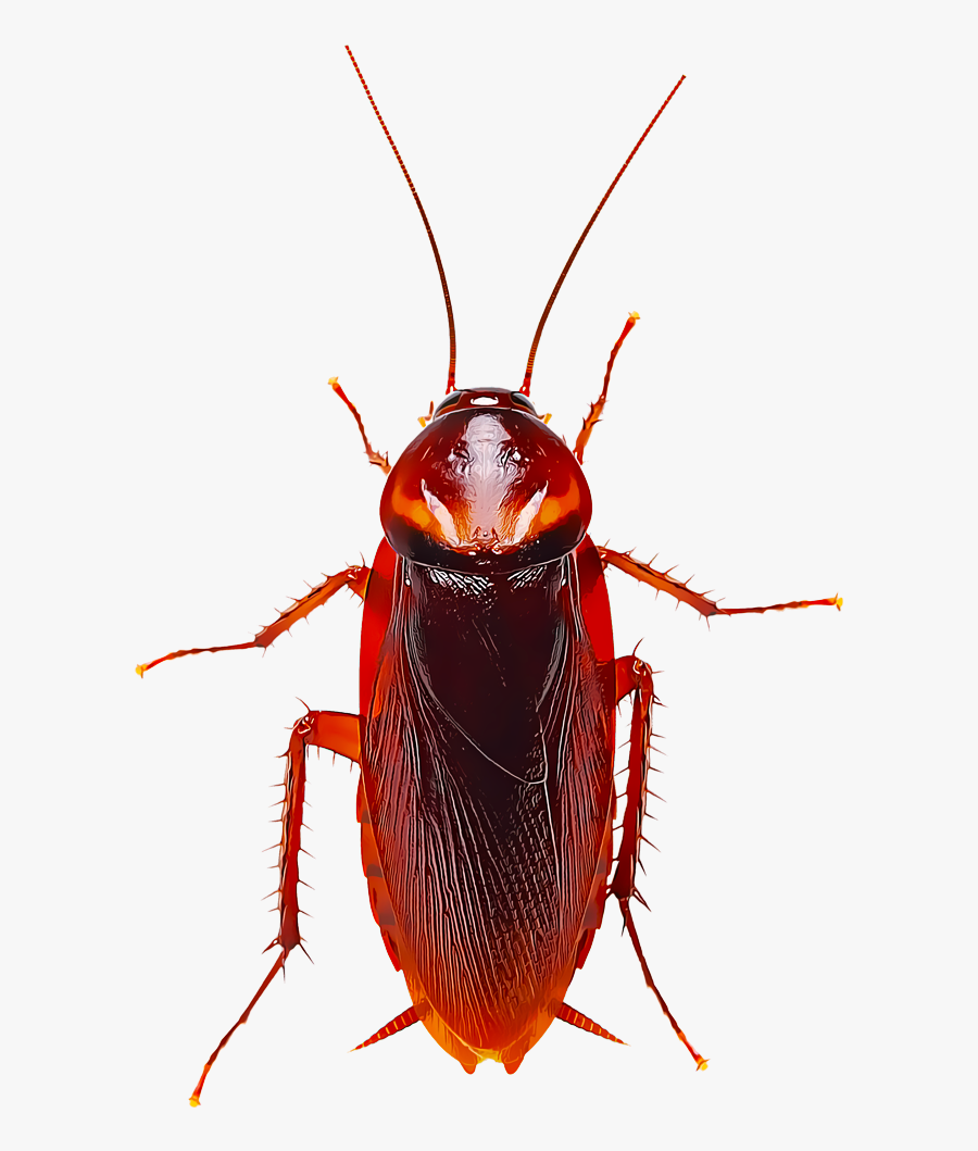 Identify And Control Cockroaches - American Roach Vs German, Transparent Clipart