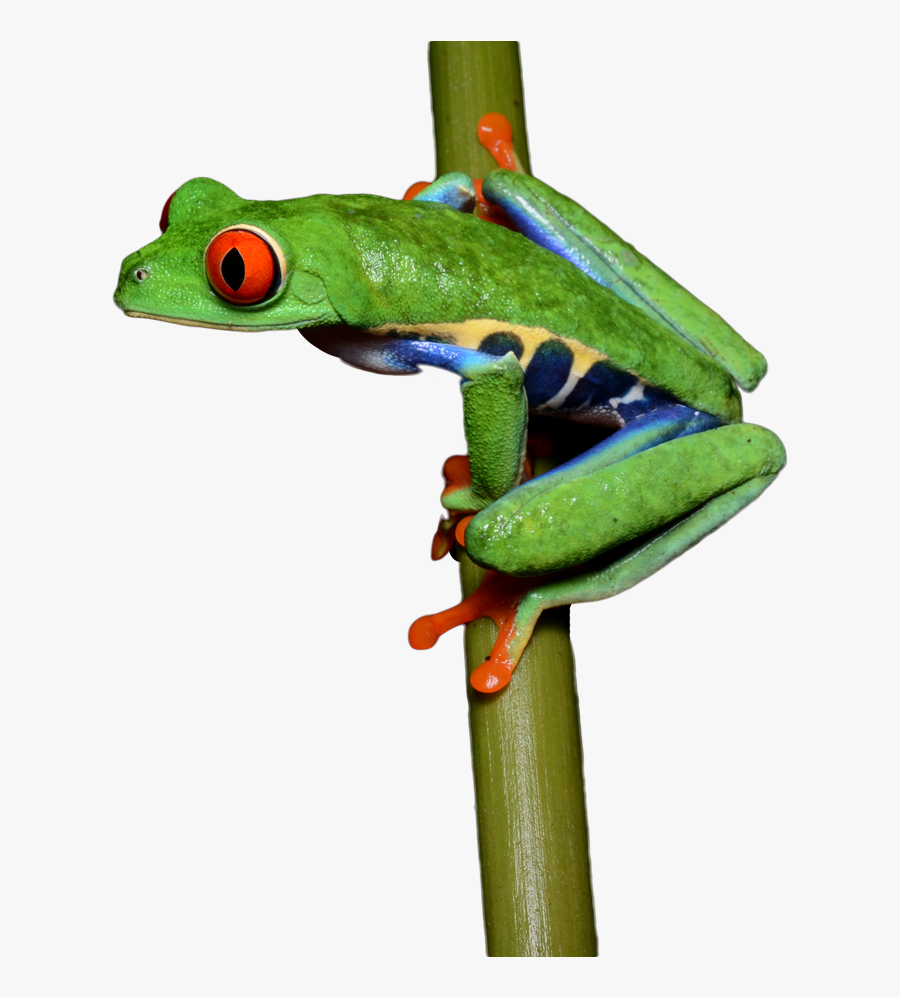 Transparent Frog Png, Transparent Clipart