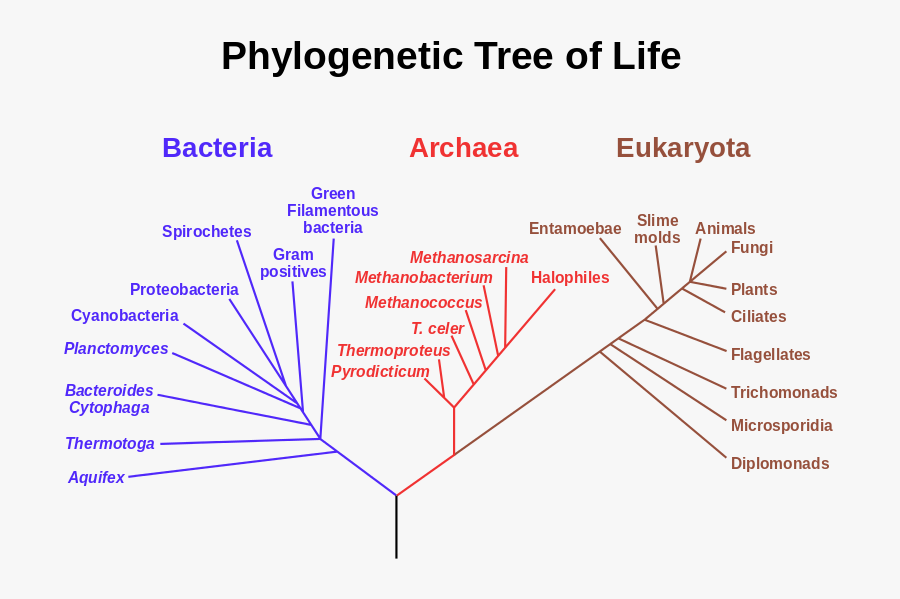 800px Phylogenetic Tree Svg - Phylogenetic Tree Of Life, Transparent Clipart
