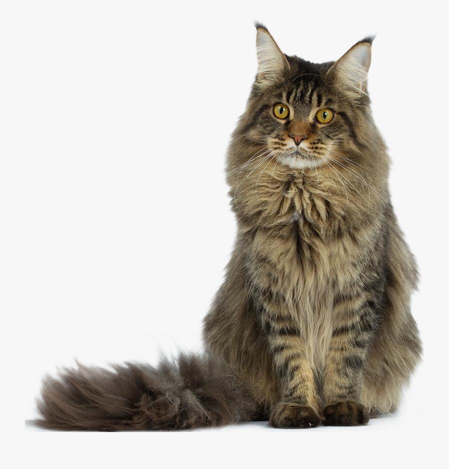 Clip Art Purebred Maine Coon - Maine Coon Angora Cat, Transparent Clipart