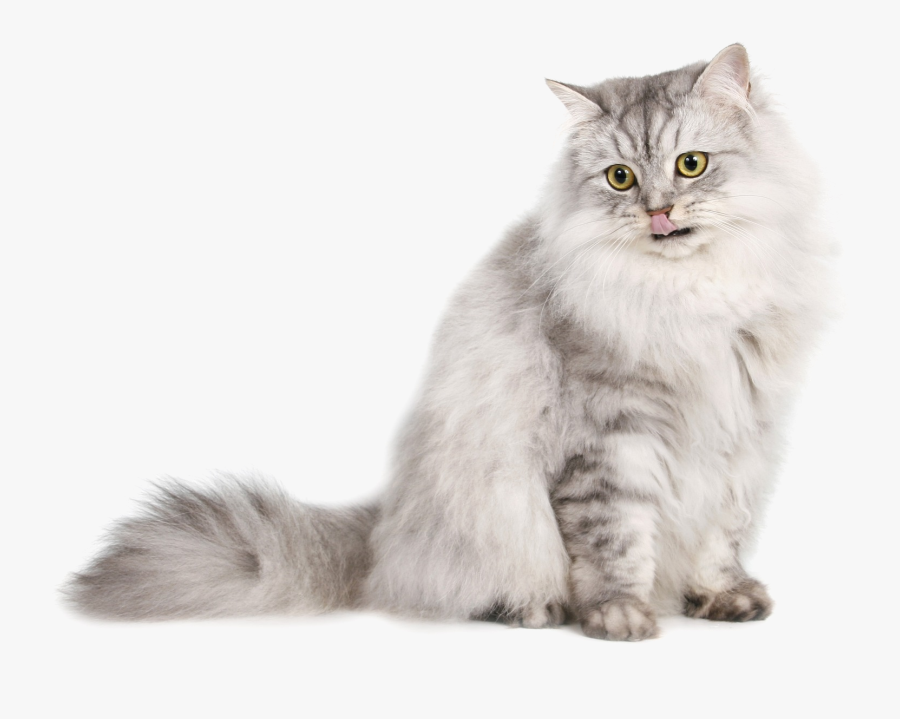 To Medium Sized Longhair,domestic Long Haired Cat,siberian,british - Persian Cat Transparent Background, Transparent Clipart