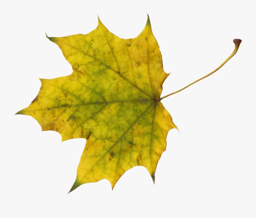 Maple Png Onlygfx - Sugar Maple Leave Clip Art, Transparent Clipart