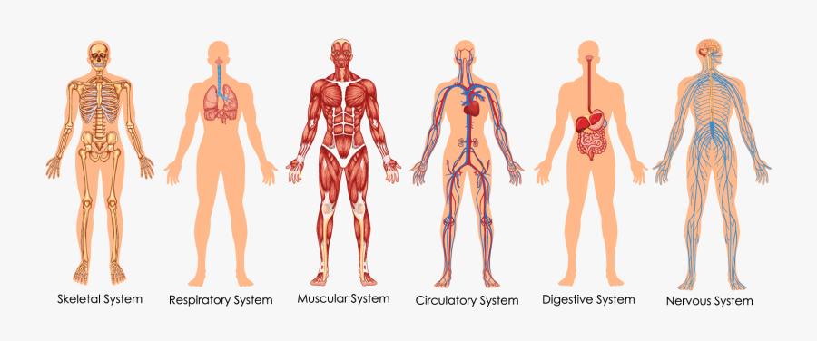 Transparent Circulatory System Clipart - Body Systems Diagram, Transparent Clipart