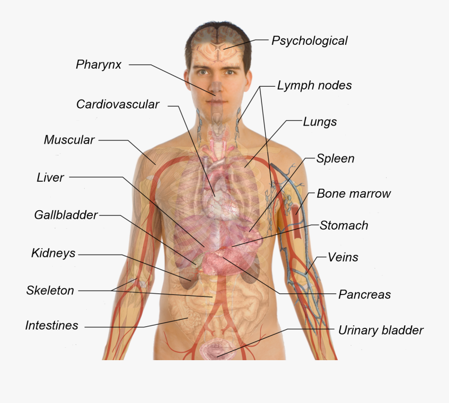 Liver Clipart Body Organ System - All Your Organs In Your Body, Transparent Clipart