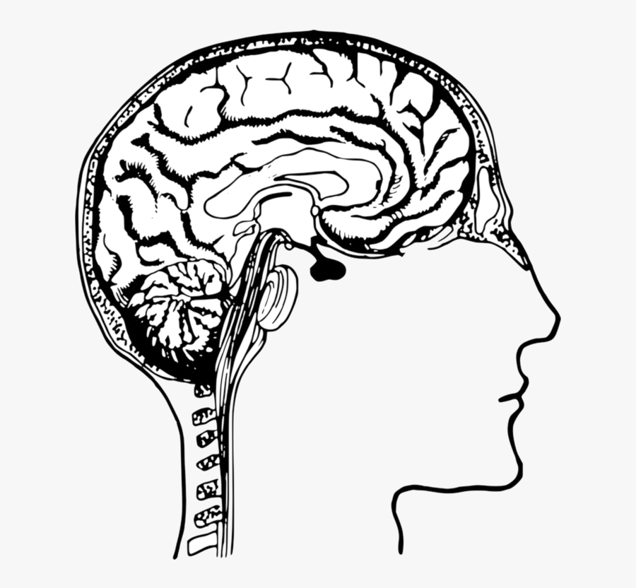 Brain Human Body Head Drawing Transparent Png - Human Brain Clip Art, Transparent Clipart