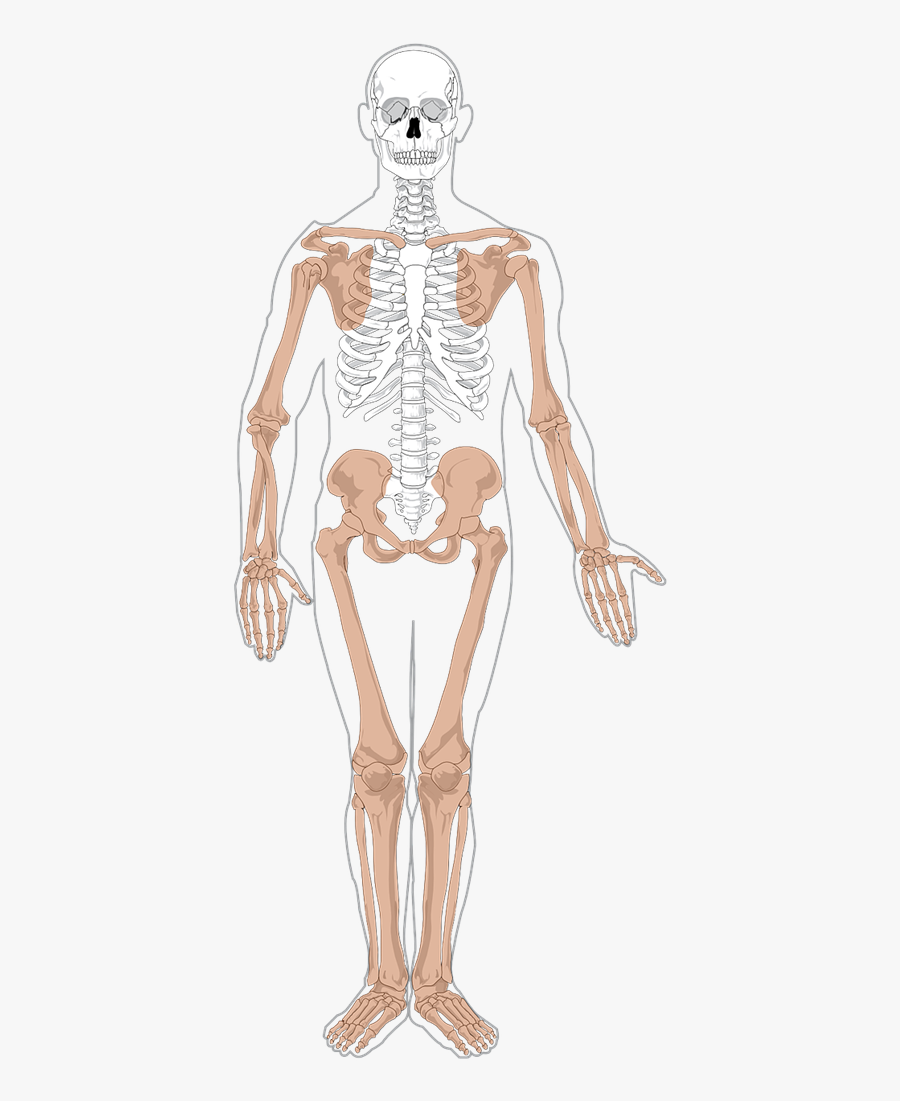 Free Human Skeleton Clip Art - Appendicular Skeleton, Transparent Clipart