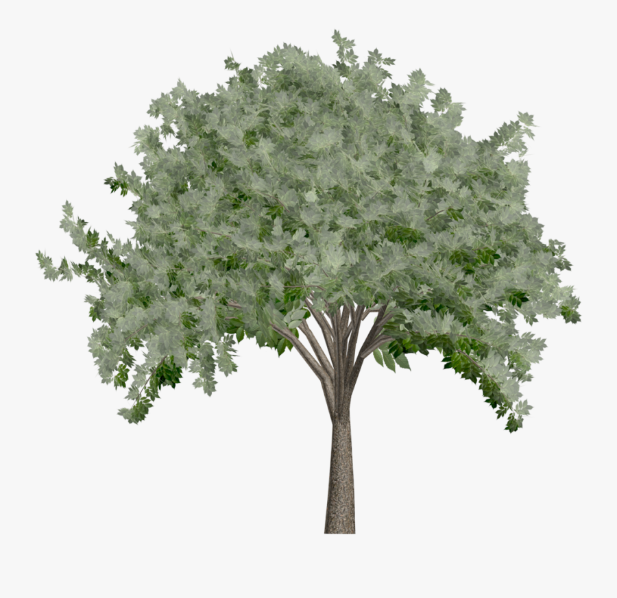 Elm Tree - Oak - Plane-tree Family, Transparent Clipart