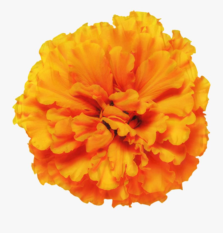 Mexican Marigold Glebionis Segetum Pot Marigold Flower - Marigold Png, Transparent Clipart
