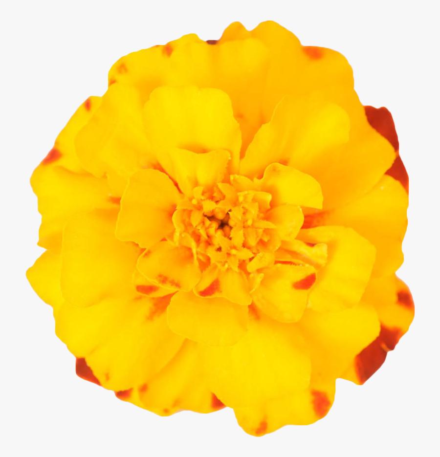 Mexican Marigold Flower Plant - Marigold Transparent Background, Transparent Clipart