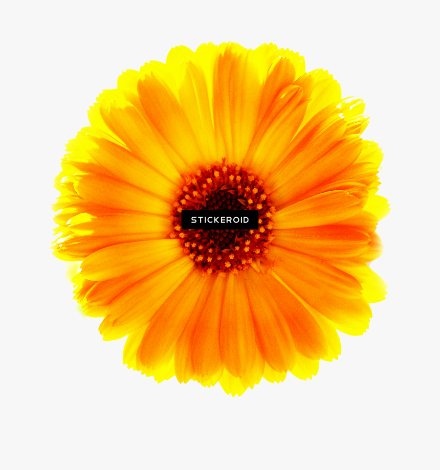 Indian Blanket Png - Transparent Marigold Clipart, Transparent Clipart