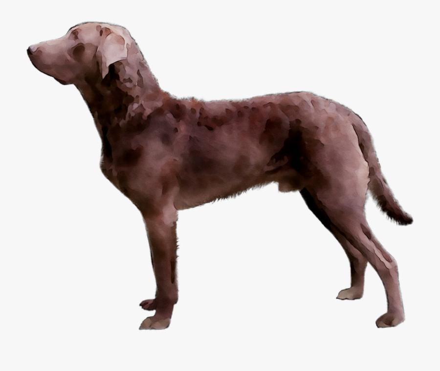 Golden Chesapeake Breed Dog Bay Limp Retriever Clipart - Ancient Dog Breeds, Transparent Clipart