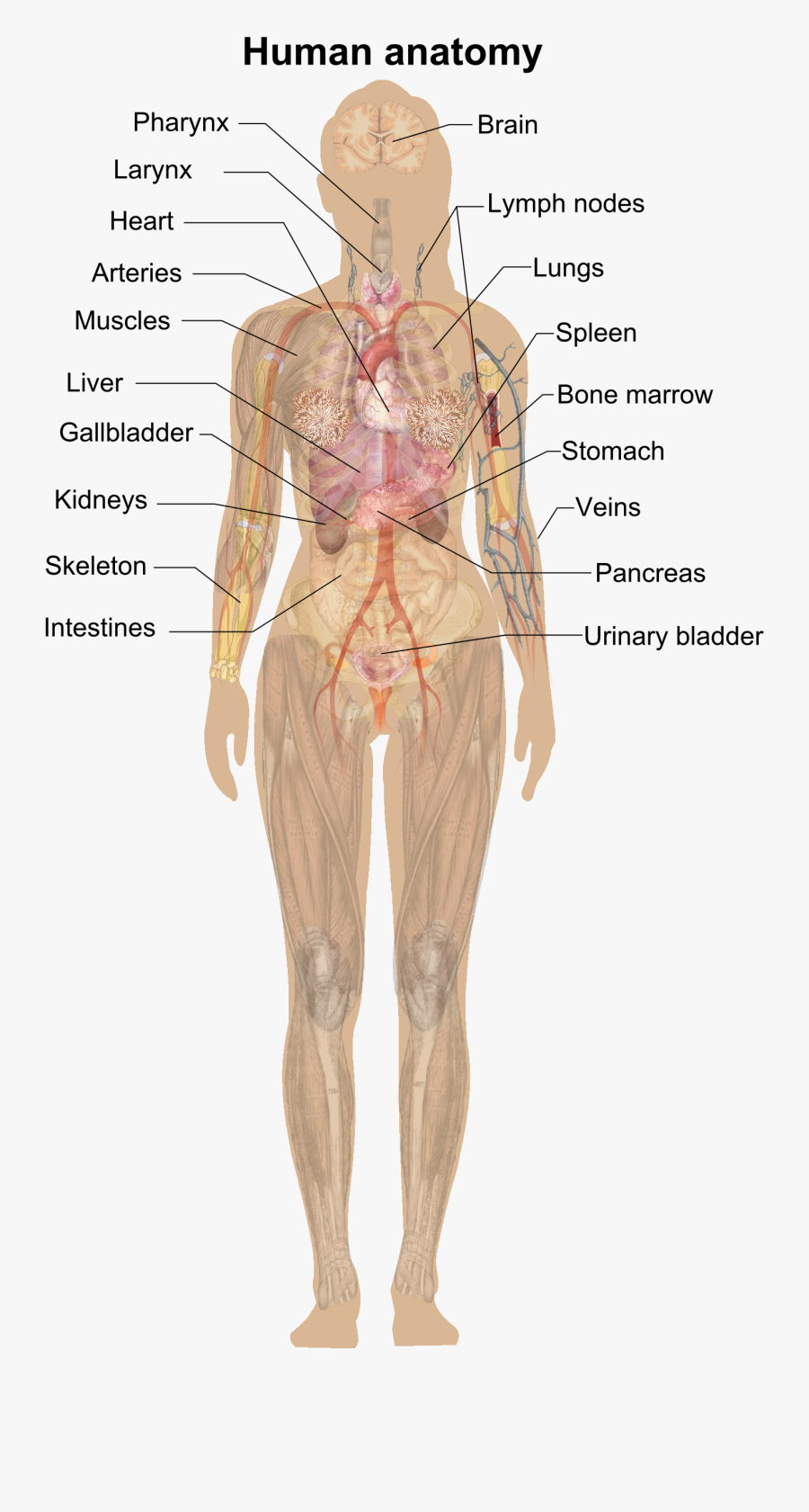File Female Shadow Anatomy - Human Anatomy Without Labels, Transparent Clipart