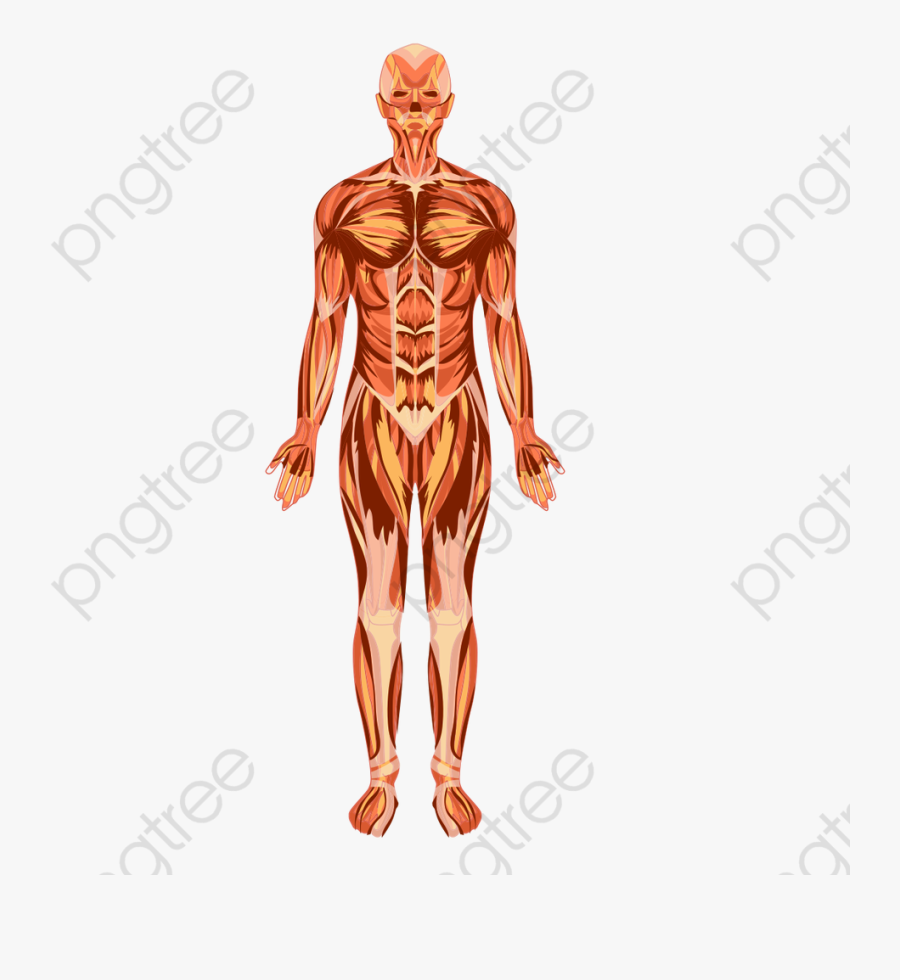 Human Body Clipart Transparent Background - Human Body, Transparent Clipart