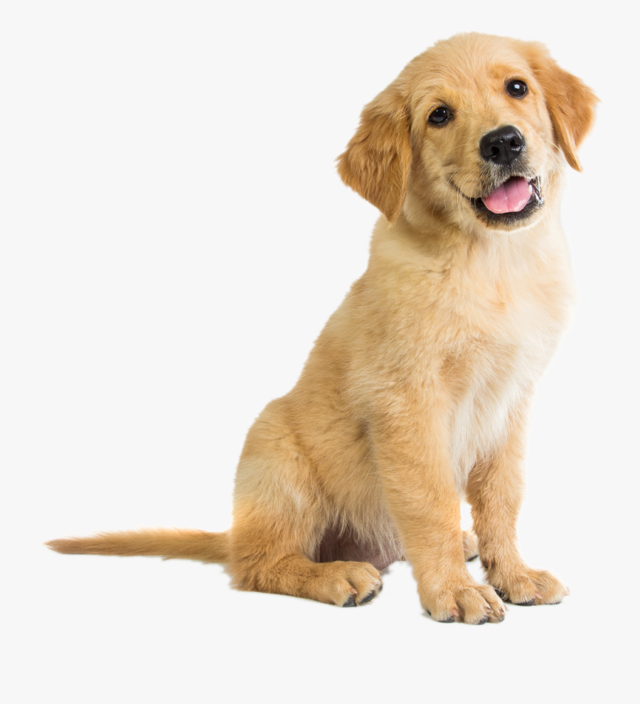 Golden Retriever Puppy Clipart, Transparent Clipart