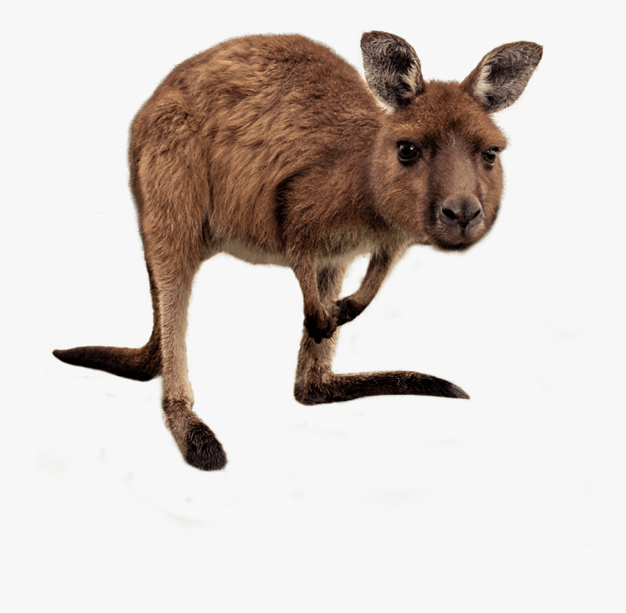 Kangaroo Australia Wallaby Reserve Stock Photography Wallaby Png Free Transparent Clipart Clipartkey