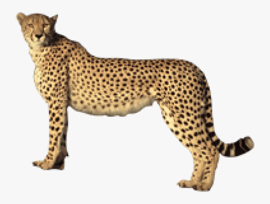 Transparent Cheetahs Clipart - Cheetah Transparent Background, Transparent Clipart