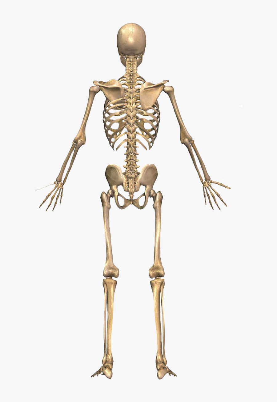 The Skeletal System Body - Skeletal System From Back, Transparent Clipart