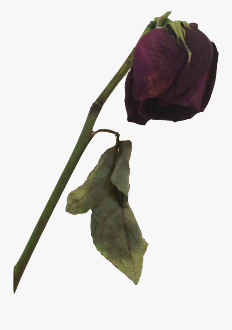 #dead #rose #freetoedit - Dead Flower Png, Transparent Clipart