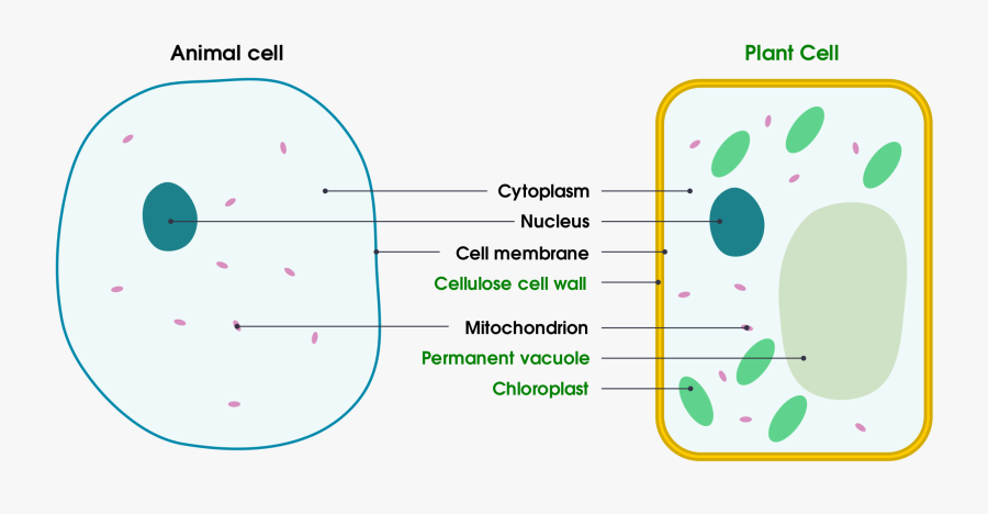 Cells - Revision Notes in GCSE Biology